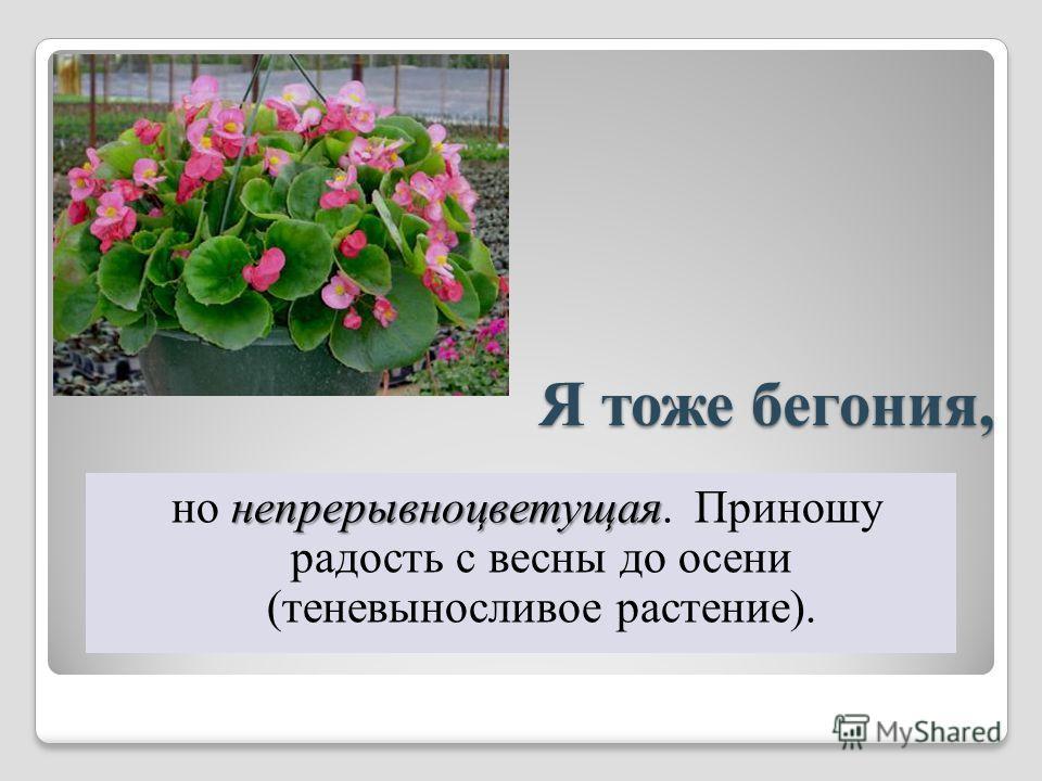 Я тоже бегония, непрерывно цветущая но непрерывно цветущая. Приношу радость с весны до осени (теневыносливое растение).