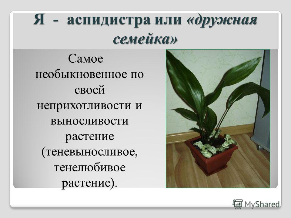 Я - аспидистра или «дружная семейка» Самое необыкновенное по своей неприхотливости и выносливости растение (теневыносливое, тенелюбивое растение).