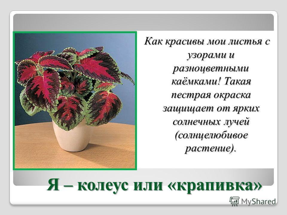 Я – колеус или «крапива» Я – колеус или «крапива» Как красивы мои листья с узорами и разноцветными каёмками! Такая пестрая окраска защищает от ярких солнечных лучей (солнцелюбивое растение).
