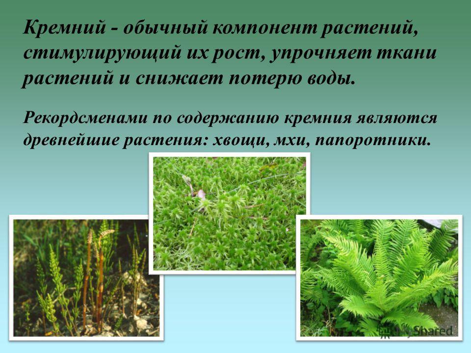 Кремний - обычный компонент растений, стимулирующий их рост, упрочняет ткани растений и снижает потерю воды. Рекордсменами по содержанию кремния являются древнейшие растения: хвощи, мхи, папоротники.