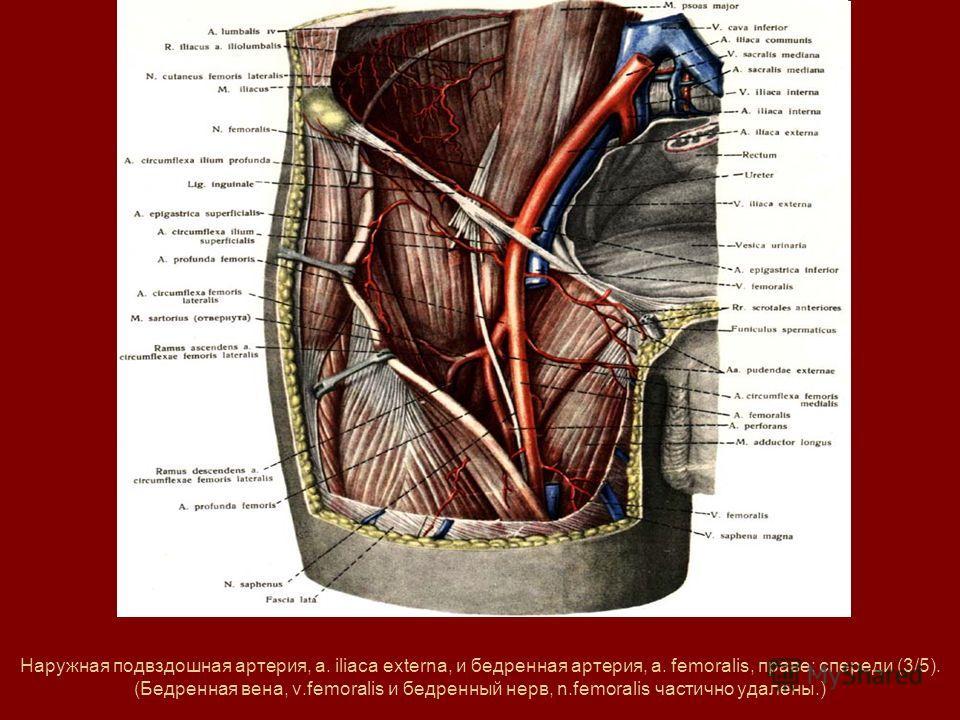 Наружная подвздошная артерия, a. iliaca externa, и бедренная артерия, a. femoralis, праве; спереди (3/5). (Бедренная вена, v.femoralis и бедренный нерв, n.femoralis частично удалены.)