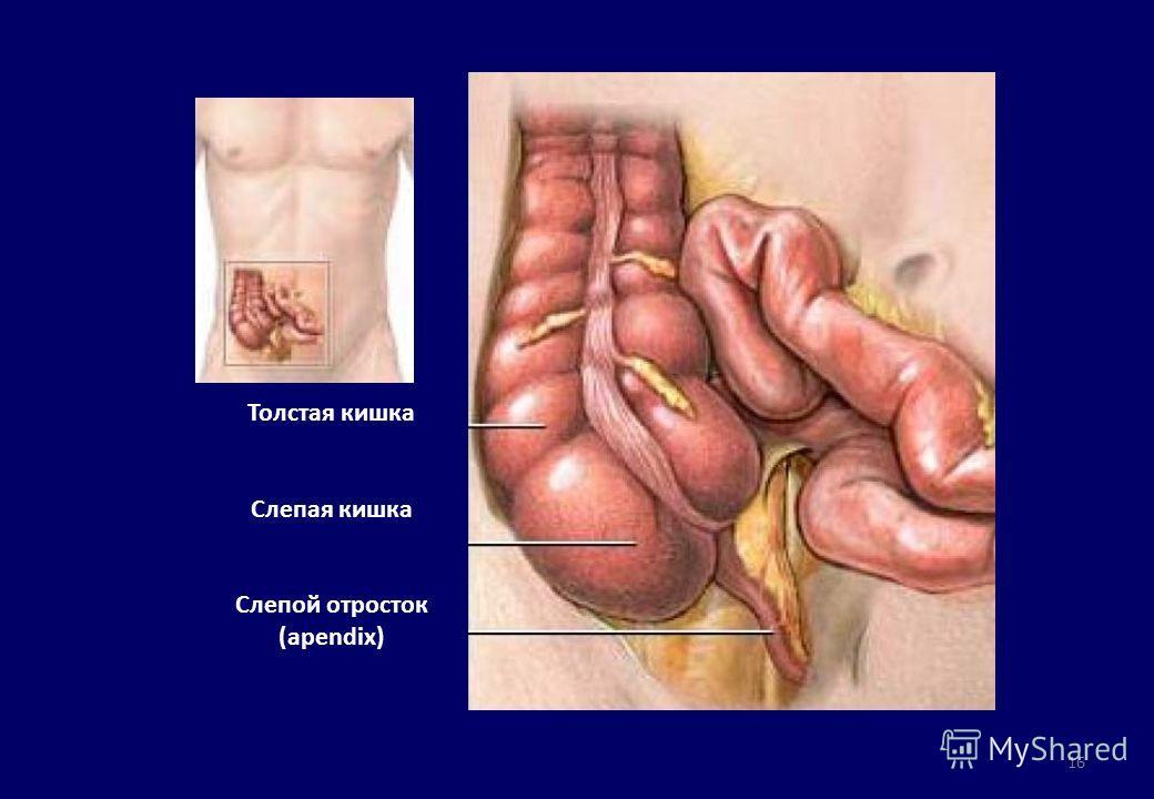16 Толстая кишка Слепая кишка Слепой отросток (apendix)