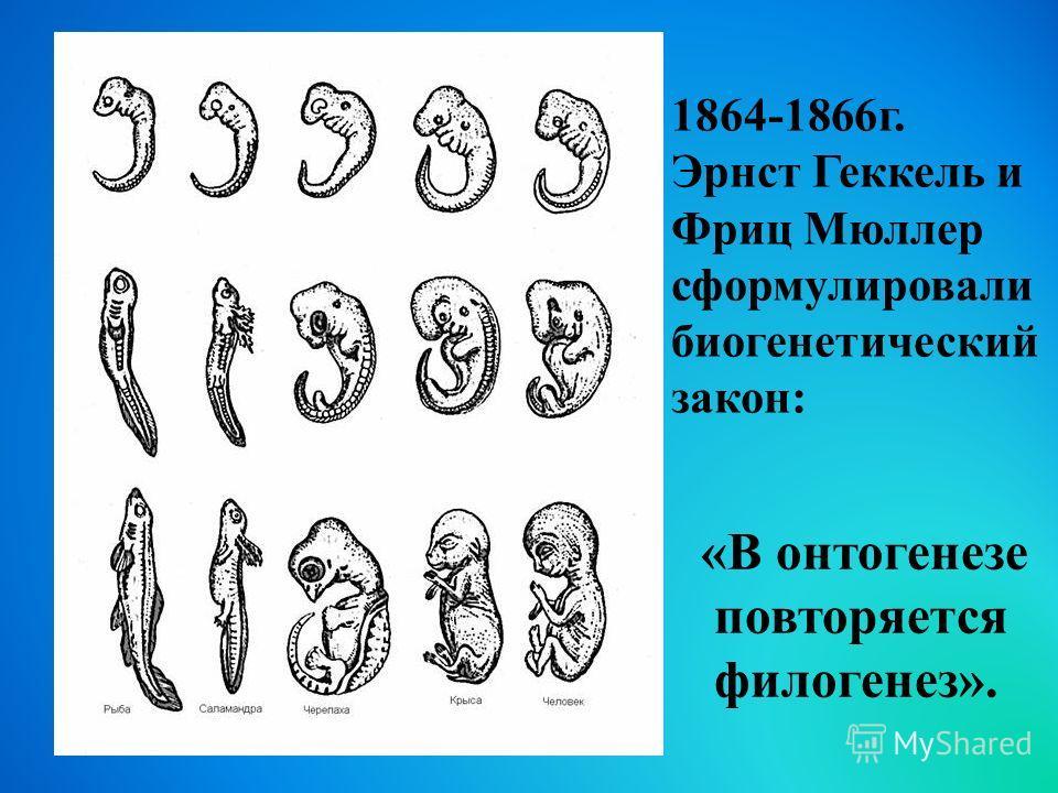 «В онтогенезе повторяется филогенез». 1864-1866 г. Эрнст Геккель и Фриц Мюллер сформулировали биогенетический закон:
