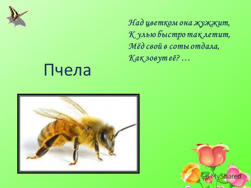 Над цветком она жужжит, К улью быстро так летит, Мёд свой в соты отдала, Как зовут её? … Пчела