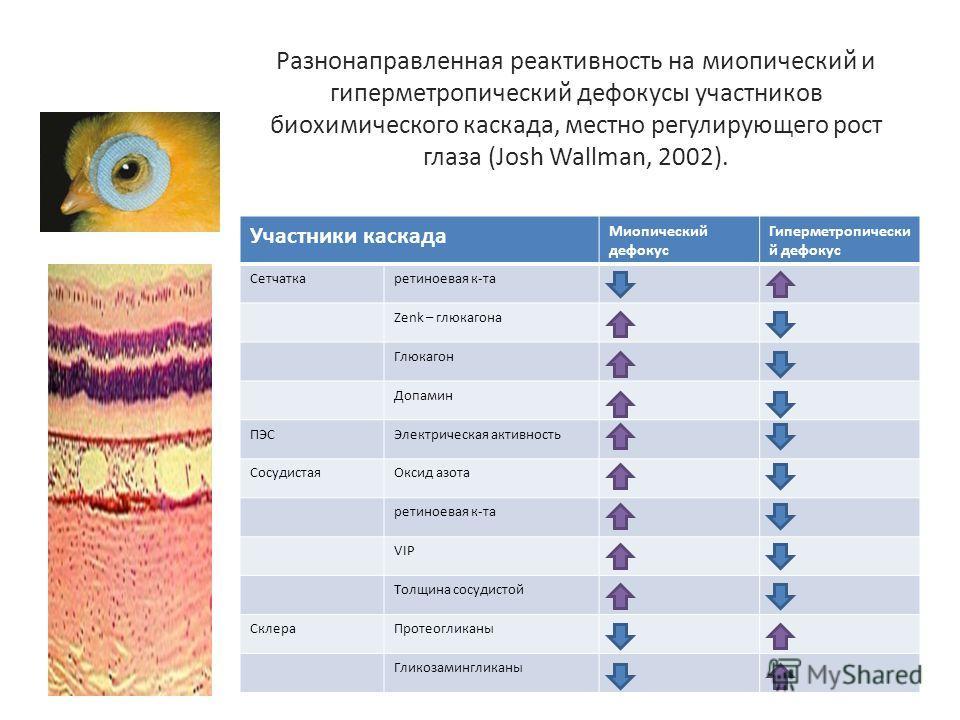 Разнонаправленная реактивность на миопический и гиперметропический де фокусы участников биохимического каскада, местно регулирующего рост глаза (Josh Wallman, 2002). Участники каскада Миопический дефокус Гиперметропически й дефокус Сетчаткаретиноевая