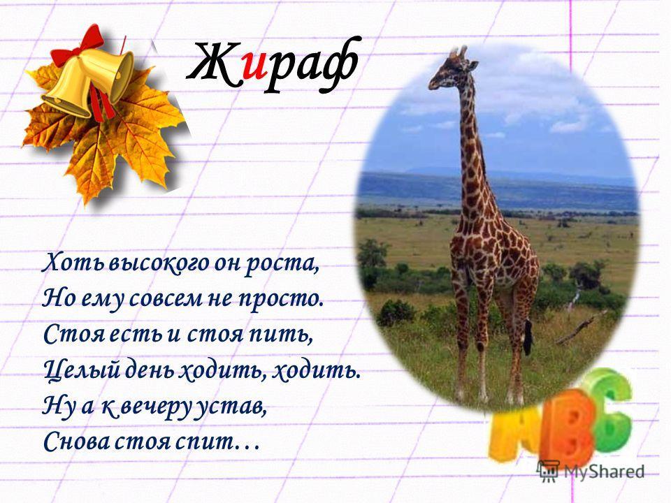 Жираф Хоть высокого он роста, Но ему совсем не просто. Стоя есть и стоя пить, Целый день ходить, ходить. Ну а к вечеру устав, Снова стоя спит…