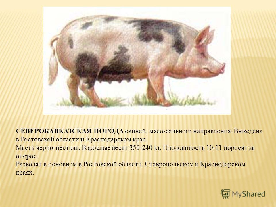СЕВЕРОКАВКАЗСКАЯ ПОРОДА свиней, мясо-сального направления. Выведена в Ростовской области и Краснодарском крае. Масть черно-пестрая. Взрослые весят 350-240 кг. Плодовитость 10-11 поросят за опорос. Разводят в основном в Ростовской области, Ставропольс
