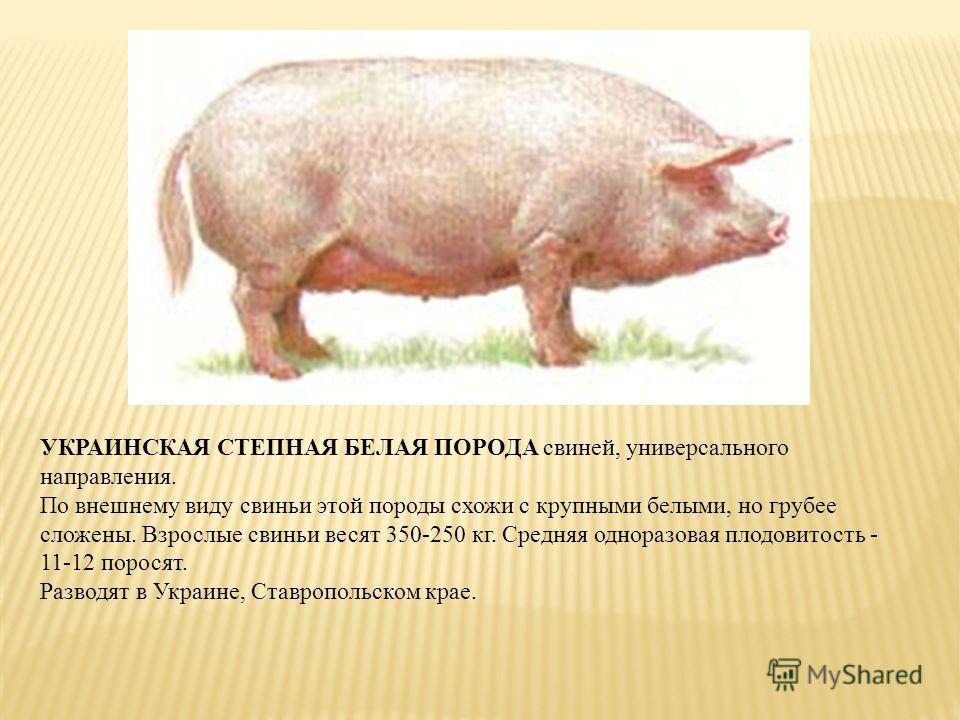УКРАИНСКАЯ СТЕПНАЯ БЕЛАЯ ПОРОДА свиней, универсального направления. По внешнему виду свиньи этой породы схожи с крупными белыми, но грубее сложены. Взрослые свиньи весят 350-250 кг. Средняя одноразовая плодовитость - 11-12 поросят. Разводят в Украине