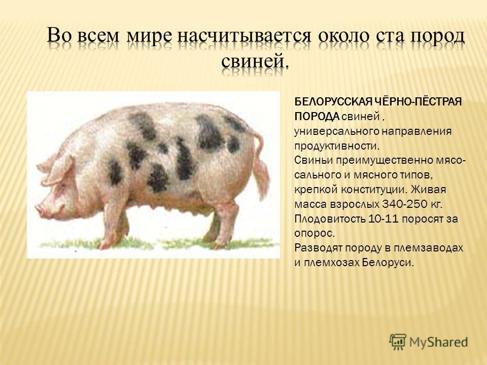 БЕЛОРУССКАЯ ЧЁРНО-ПЁСТРАЯ ПОРОДА свиней, универсального направления продуктивности. Свиньи преимущественно мясо- сального и мясного типов, крепкой конституции. Живая масса взрослых 340-250 кг. Плодовитость 10-11 поросят за опорос. Разводят породу в п