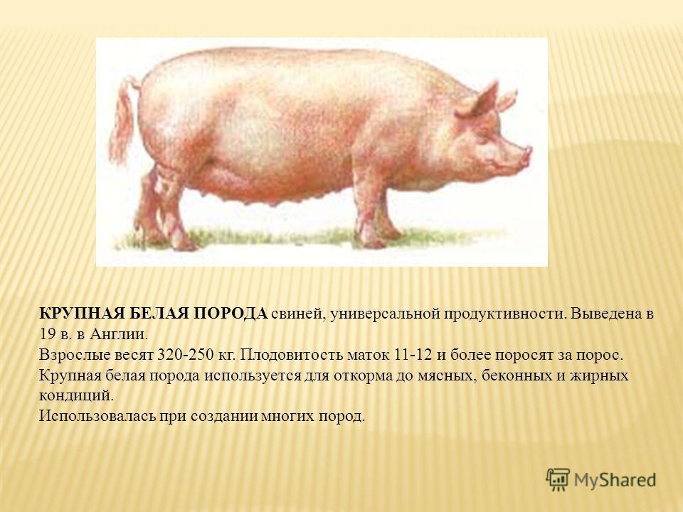 КРУПНАЯ БЕЛАЯ ПОРОДА свиней, универсальной продуктивности. Выведена в 19 в. в Англии. Взрослые весят 320-250 кг. Плодовитость маток 11-12 и более поросят за порос. Крупная белая порода используется для откорма до мясных, беконных и жирных кондиций. И