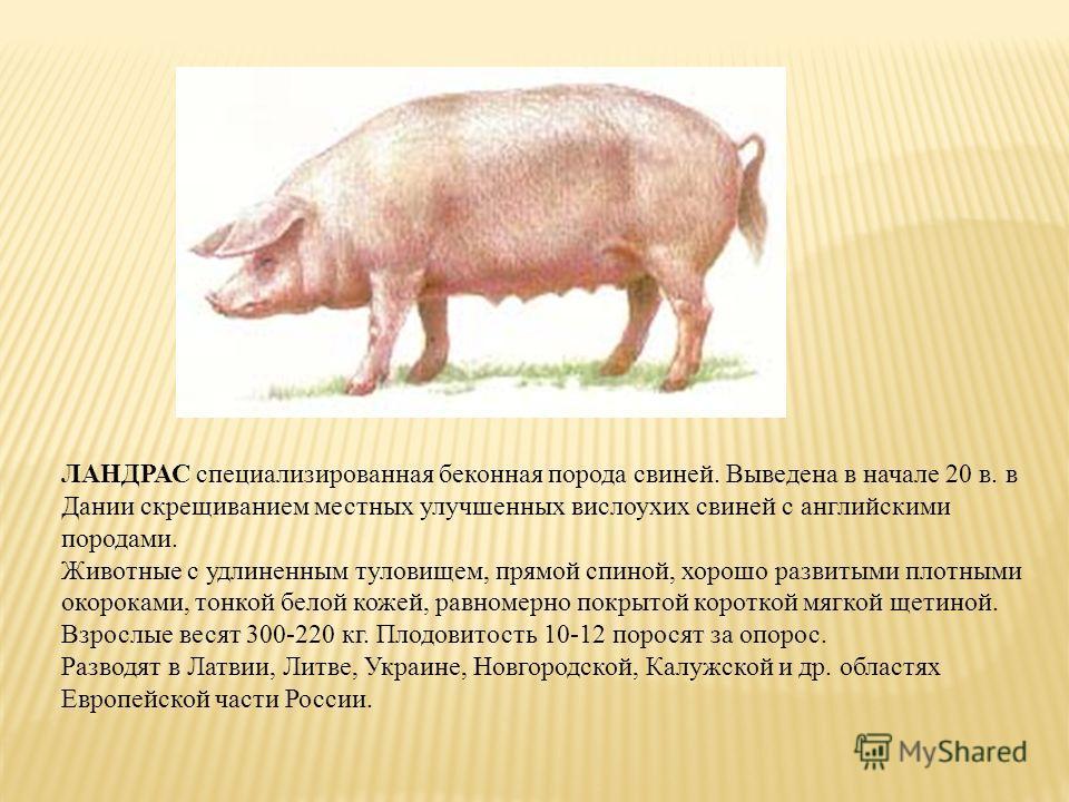 ЛАНДРАС специализированная беконная порода свиней. Выведена в начале 20 в. в Дании скрещиванием местных улучшенных вислоухих свиней с английскими породами. Животные с удлиненным туловищем, прямой спиной, хорошо развитыми плотными окороками, тонкой бе