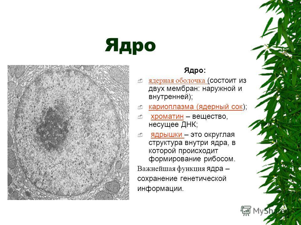 Ядро Ядро: ядерная оболочка (состоит из двух мембран: наружной и внутренней); кариоплазма (ядерный сок); хроматин – вещество, несущее ДНК; ядрышки – это округлая структура внутри ядра, в которой происходит формирование рибосом. Важнейшая функция ядра
