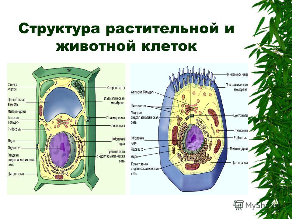 Структура растительной и животной клеток