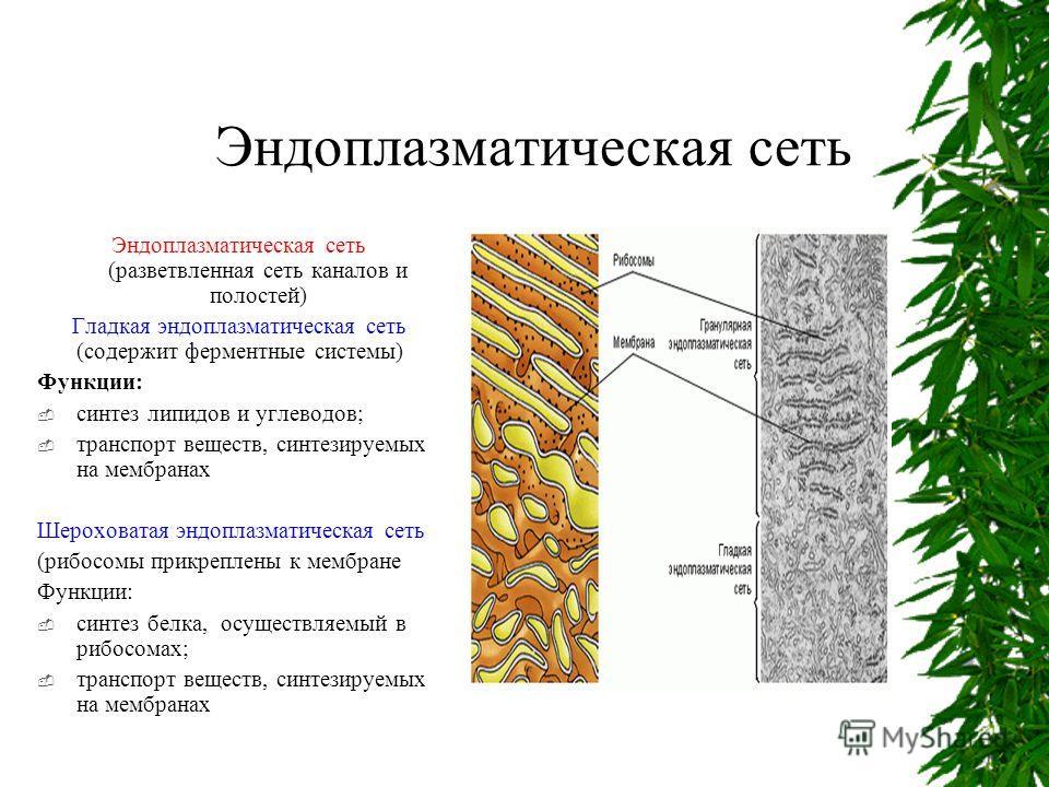 Эндоплазматическая сеть Эндоплазматическая сеть (разветвленная сеть каналов и полостей) Гладкая эндоплазматическая сеть (содержит ферментные системы) Функции: синтез липидов и углеводов; транспорт веществ, синтезируемых на мембранах Шероховатая эндоп