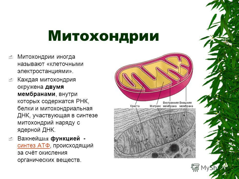 Митохондрии Митохондрии иногда называют «клеточными электростанциями». Каждая митохондрия окружена двумя мембранами, внутри которых содержатся РНК, белки и митохондриальная ДНК, участвующая в синтезе митохондрий наряду с ядерной ДНК. Важнейш ая функц