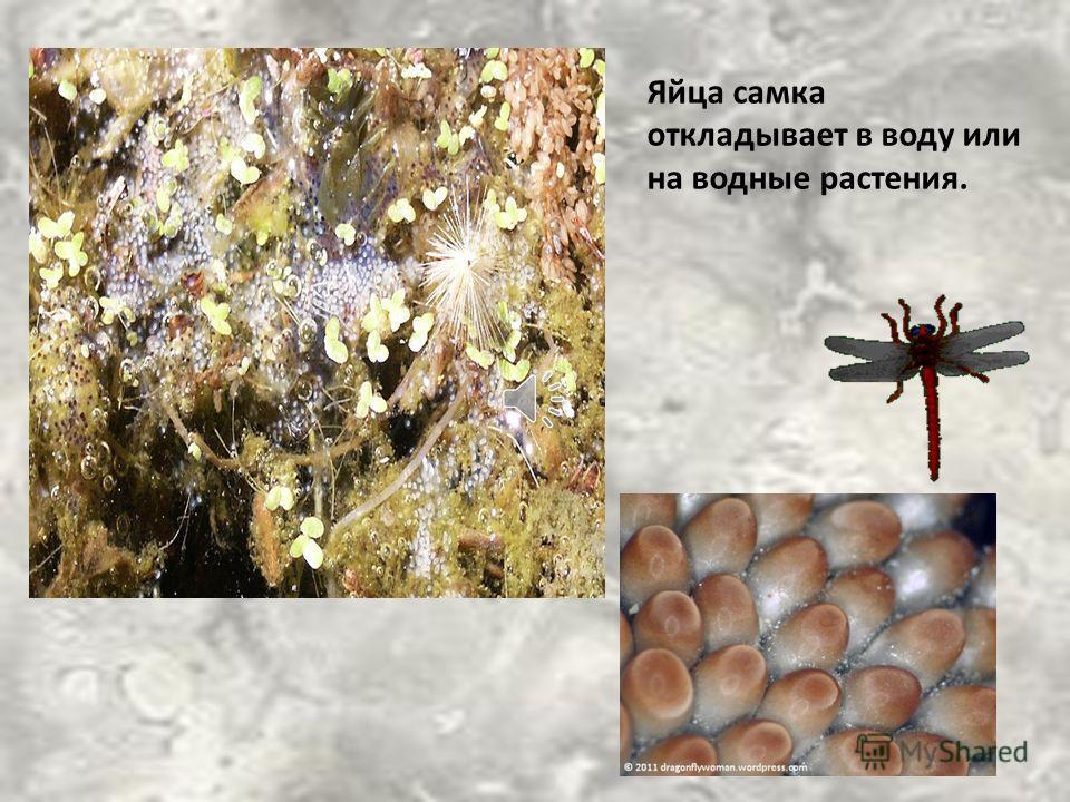 Стрекозы истребляют комаров и других вредных насекомых, тем самым приносят пользу.