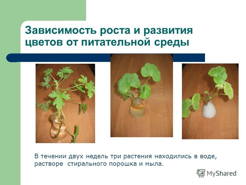 Зависимость роста и развития цветов от питательной среды В течении двух недель три растения находились в воде, растворе стирального порошка и мыла.
