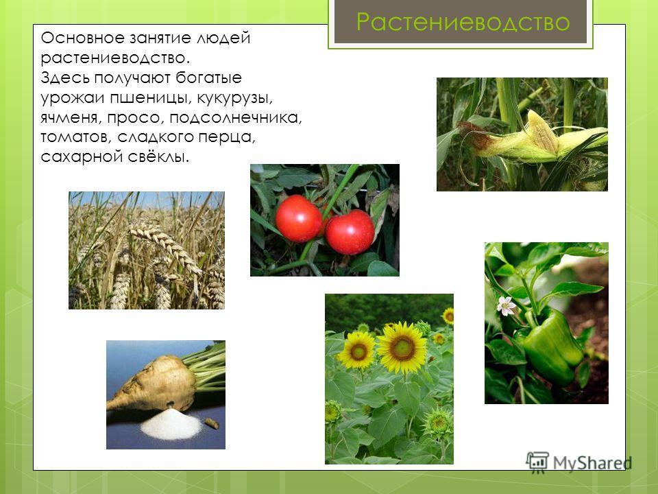 Растениеводство Основное занятие людей растениеводство. Здесь получают богатые урожаи пшеницы, кукурузы, ячменя, просо, подсолнечника, томатов, сладкого перца, сахарной свёклы.