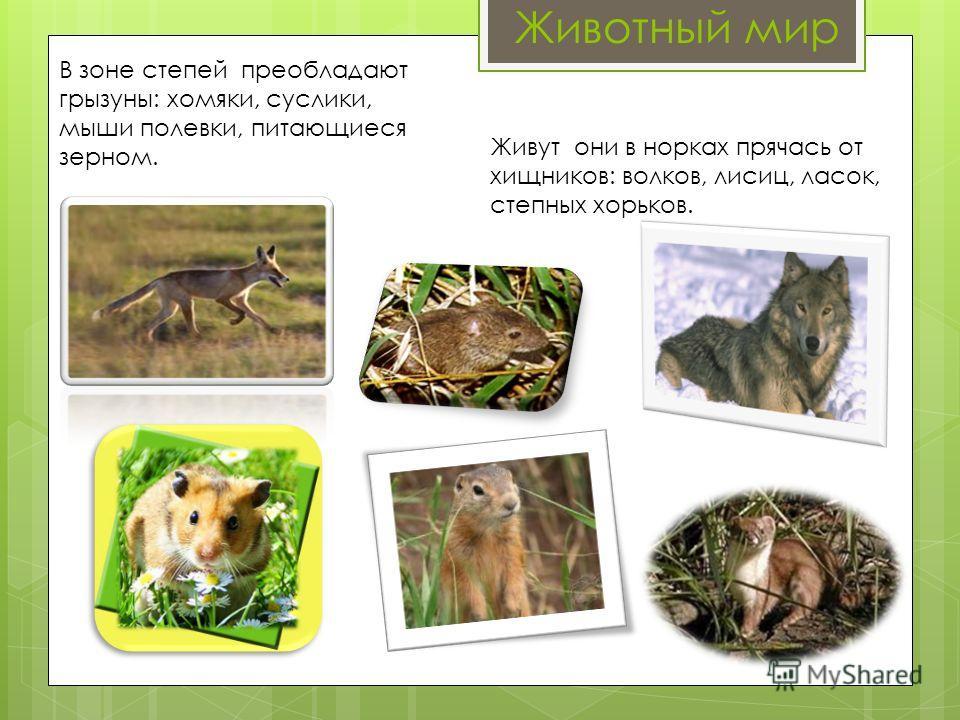 Животный мир В зоне степей преобладают грызуны: хомяки, суслики, мыши полевки, питающиеся зерном. Живут они в норках прячась от хищников: волков, лисиц, ласок, степных хорьков.
