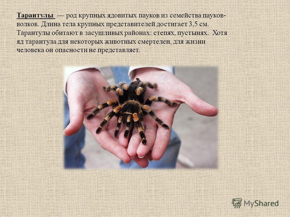 Тарантулы род крупных ядовитых пауков из семейства пауков- волков. Длина тела крупных представителей достигает 3,5 см. Тарантулы обитают в засушливых районах: степях, пустынях. Хотя яд тарантула для некоторых животных смертелен, для жизни человека он