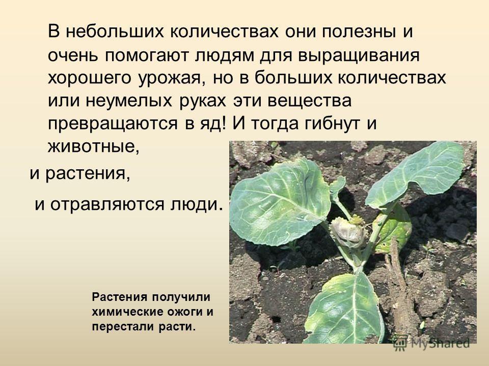 В небольших количествах они полезны и очень помогают людям для выращивания хорошего урожая, но в больших количествах или неумелых руках эти вещества превращаются в яд! И тогда гибнут и животные, и растения, и отравляются люди. Растения получили химич