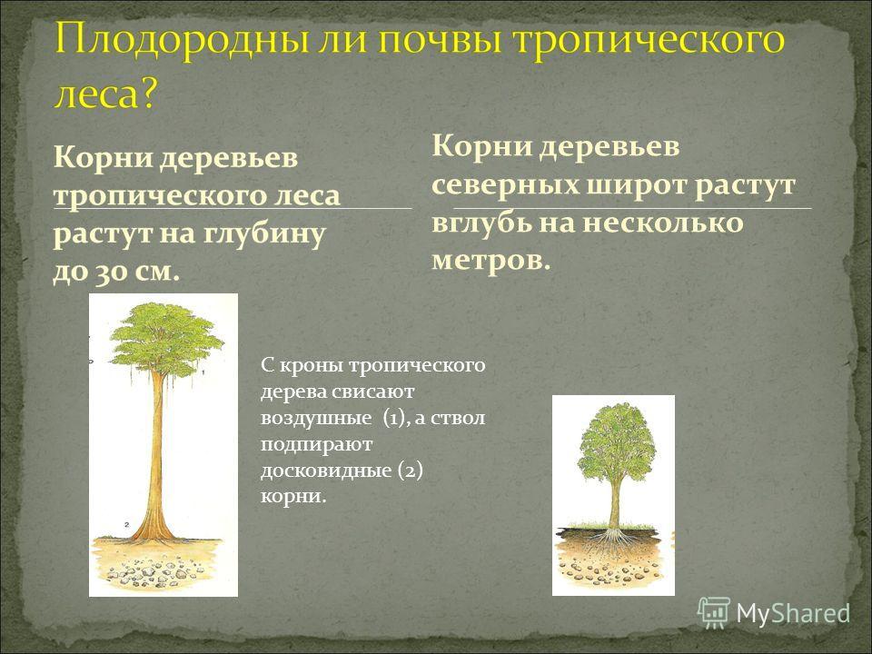 Корни деревьев северных широт растут вглубь на несколько метров. С кроны тропического дерева свисают воздушные (1), а ствол подпирают досковидные (2) корни.