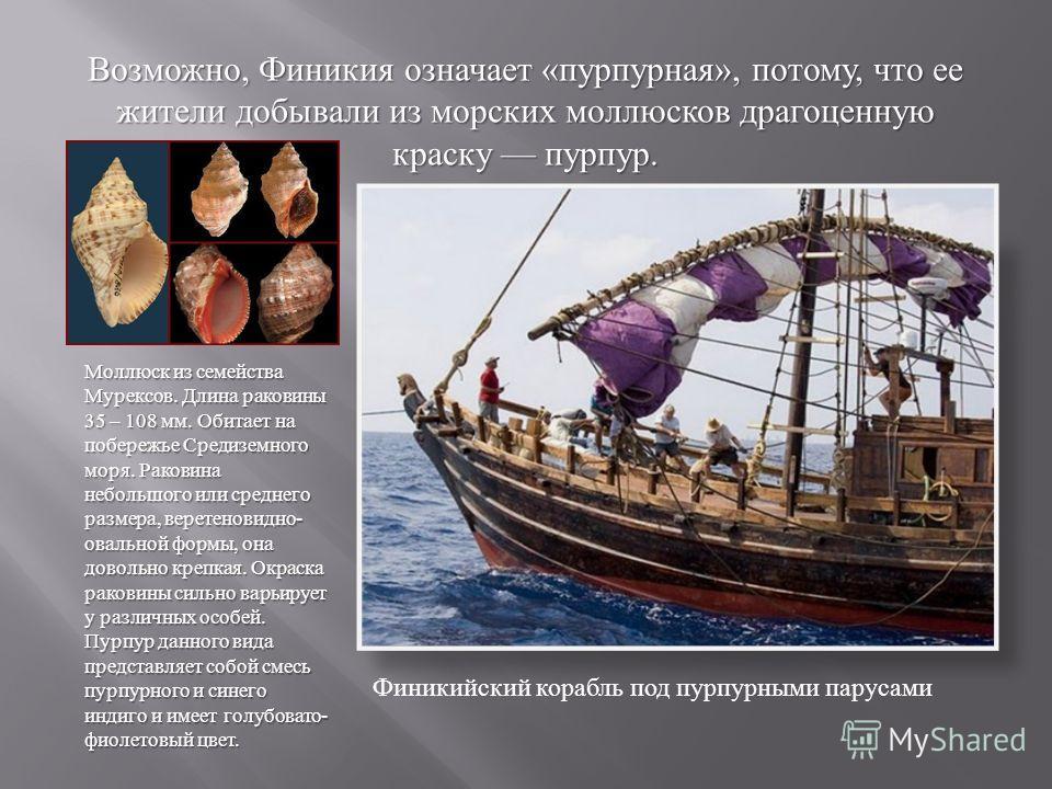 Возможно, Финикия означает « пурпурная », потому, что ее жители добывали из морских моллюсков драгоценную краску пурпур. Финикийский корабль под пурпурными парусами Моллюск из семейства Мурексов. Длина раковины 35 – 108 мм. Обитает на побережье Среди