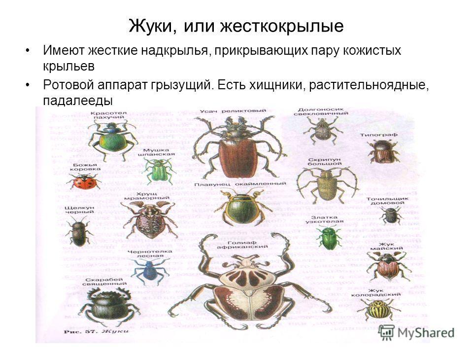 Жуки, или жесткокрылые Имеют жесткие надкрылья, прикрывающих пару кожистых крыльев Ротовой аппарат грызущий. Есть хищники, растительноядные, падалееды