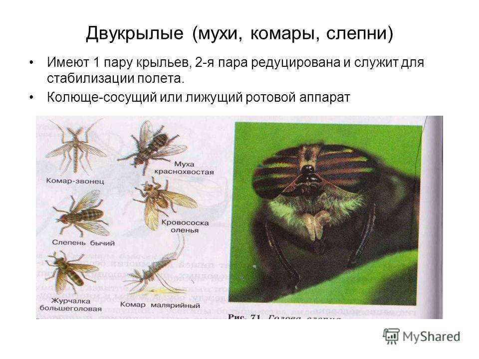 Двукрылые (мухи, комары, слепни) Имеют 1 пару крыльев, 2-я пара редуцирована и служит для стабилизации полета. Колюще-сосущий или лижущий ротовой аппарат