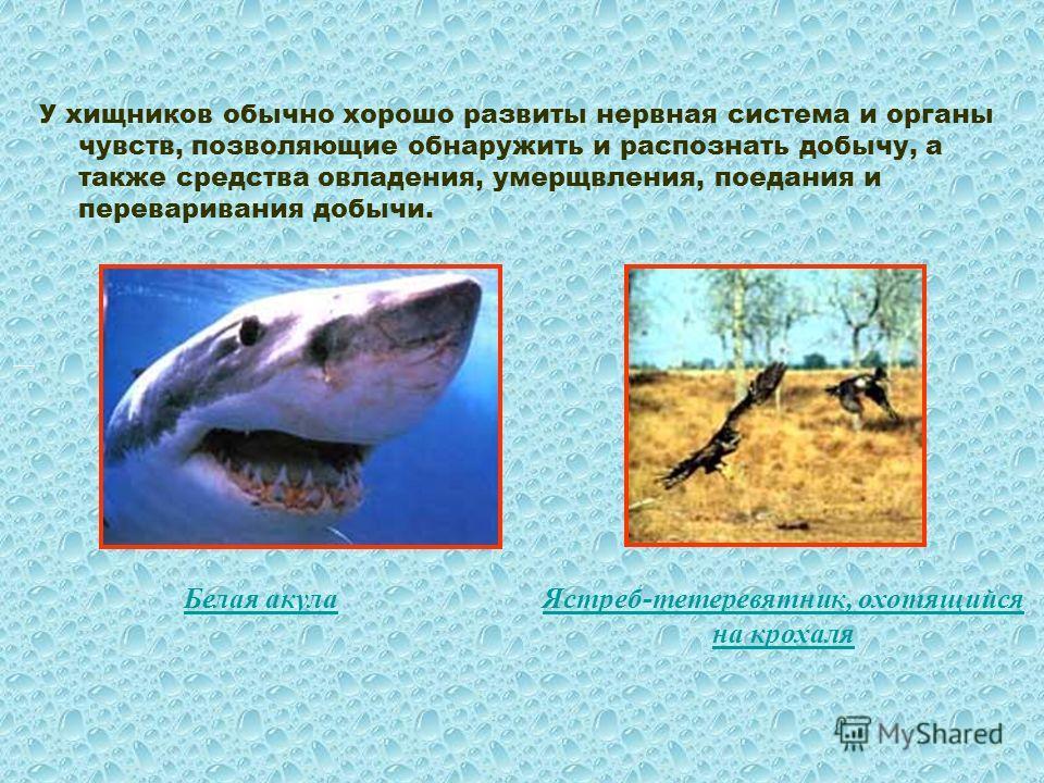 У хищников обычно хорошо развиты нервная система и органы чувств, позволяющие обнаружить и распознать добычу, а также средства овладения, умерщвления, поедания и переваривания добычи. Белая акула Ястреб-тетеревятник, охотящийся на крохаля