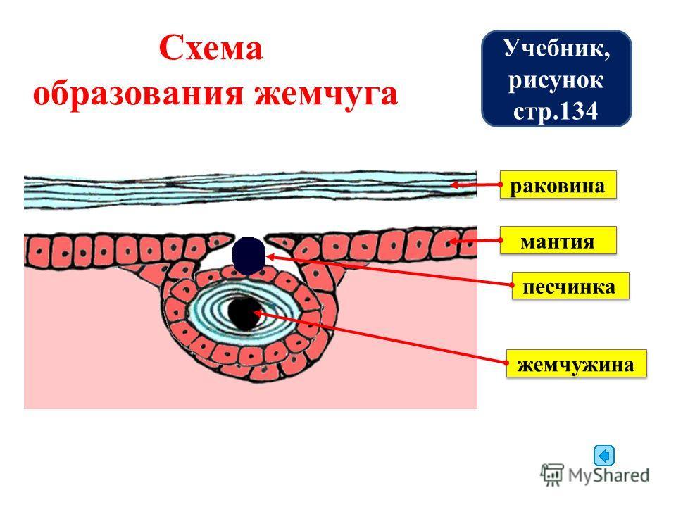 раковина мантия песчинка жемчужина Схема образования жемчуга Учебник, рисунок стр.134