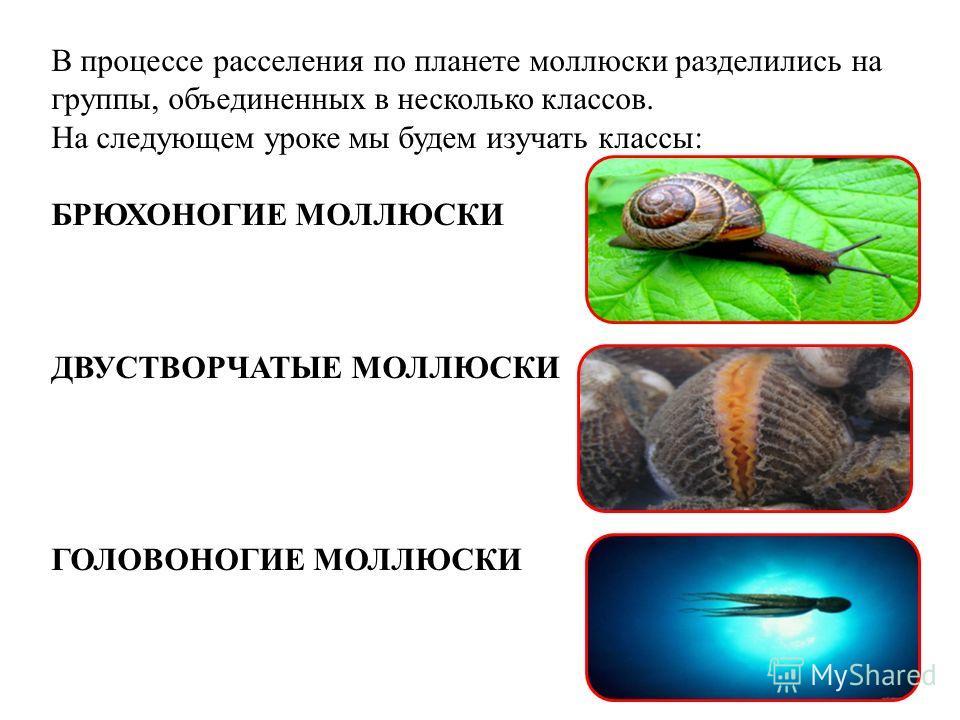 В процессе расселения по планете моллюски разделились на группы, объединенных в несколько классов. На следующем уроке мы будем изучать классы: БРЮХОНОГИЕ МОЛЛЮСКИ ДВУСТВОРЧАТЫЕ МОЛЛЮСКИ ГОЛОВОНОГИЕ МОЛЛЮСКИ