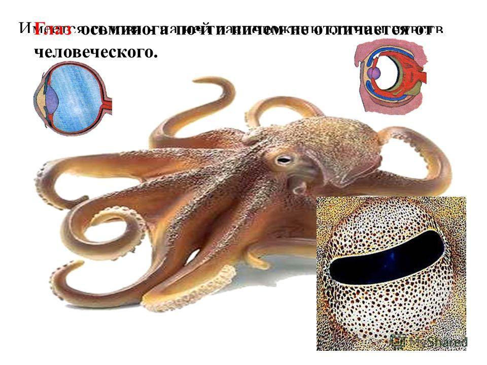 Имеется голова - на ней расположены органы чувств.Глаз осьминога почти ничем не отличается от человеческого.