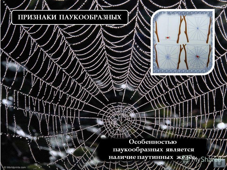 ПРИЗНАКИ ПАУКООБРАЗНЫХ Особенностью паукообразных является наличие паутинных желёз.