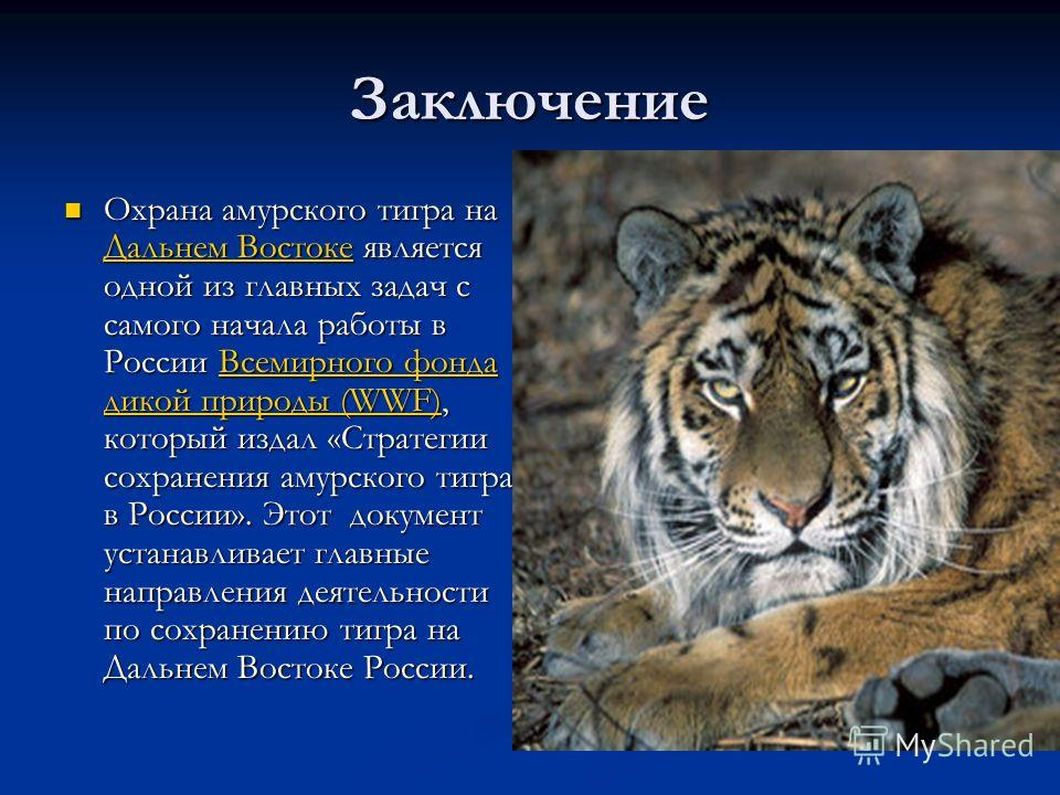 Заключение Охрана амурского тигра на Дальнем Востоке является одной из главных задач с самого начала работы в России Всемирного фонда дикой природы (WWF), который издал «Стратегии сохранения амурского тигра в России». Этот документ устанавливает глав