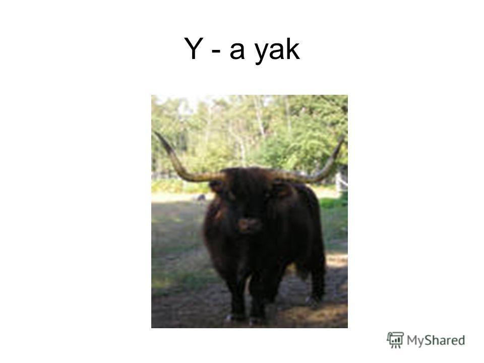 Y - a yak
