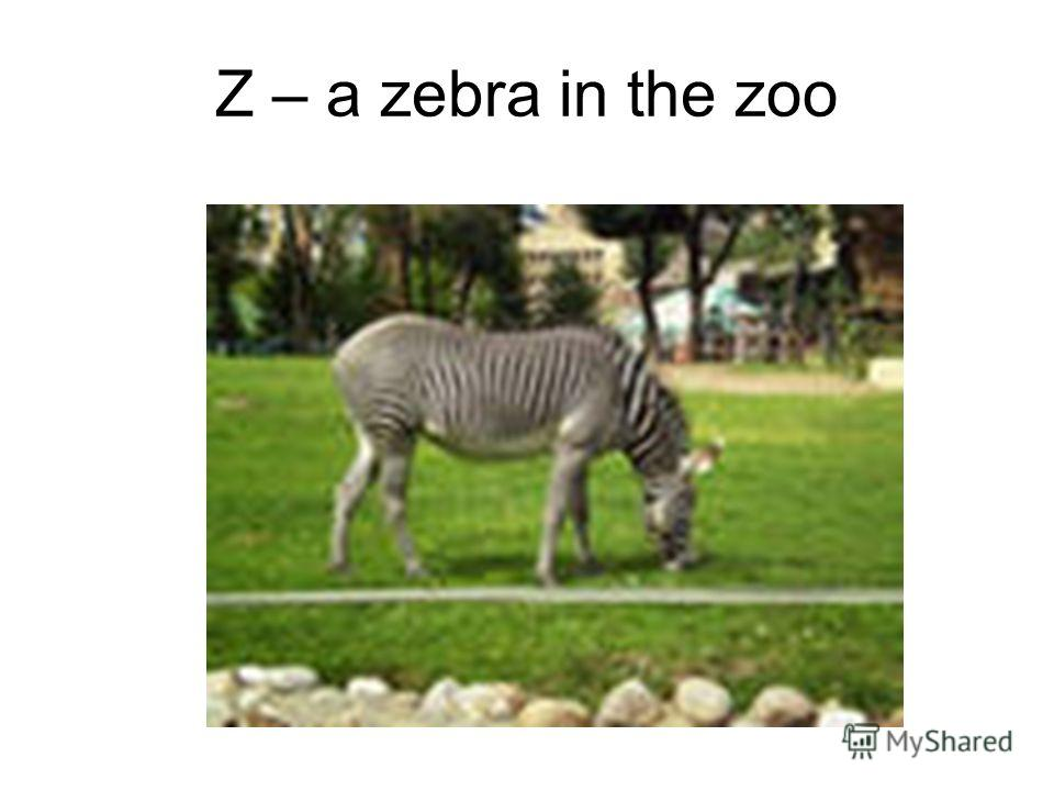 Z – a zebra in the zoo