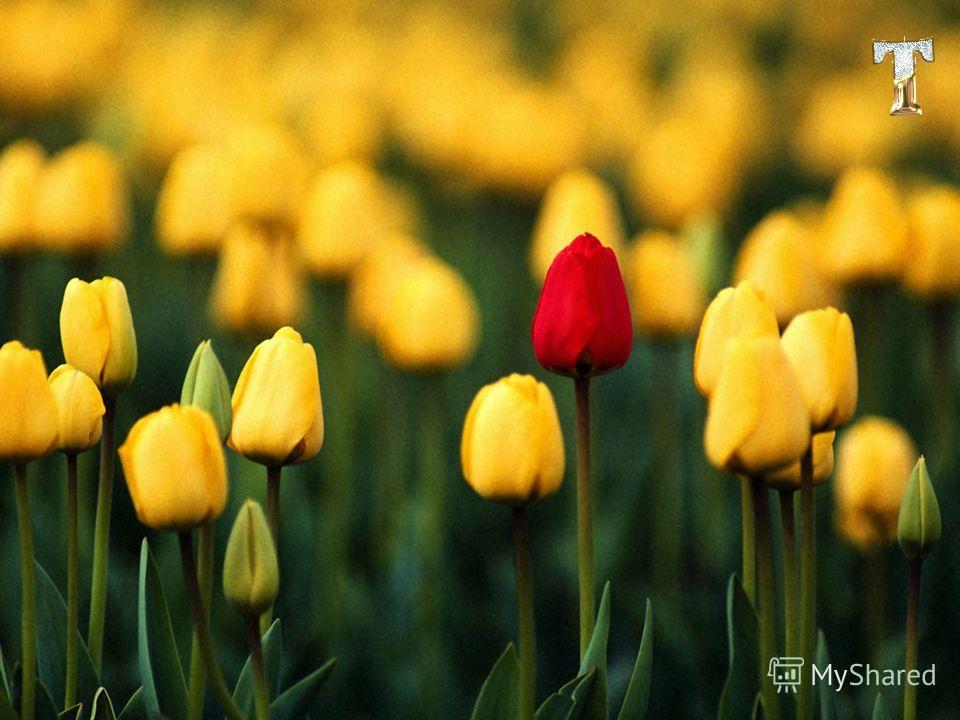 Родина тюльпанов на самом деле является Турция. Тюльпан это цветок Османской Империи. В пору Сулеймана Великолепного это цветок начал входить в Европу. Луковицу тюльпана позаимствовал у Турции Австрийский дипломат, который дипломатическим багажом пер