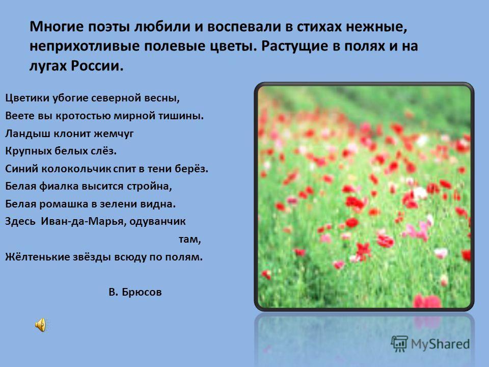 Многие поэты любили и воспевали в стихах нежные, неприхотливые полевые цветы. Растущие в полях и на лугах России. Цветики убогие северной весны, Веете вы кротостью мирной тишины. Ландыш клонит жемчуг Крупных белых слёз. Синий колокольчик спит в тени