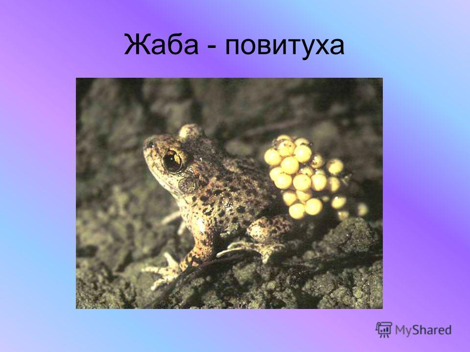 Жаба - повитуха