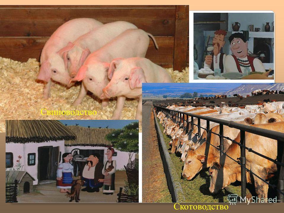 Свиноводство Скотоводство