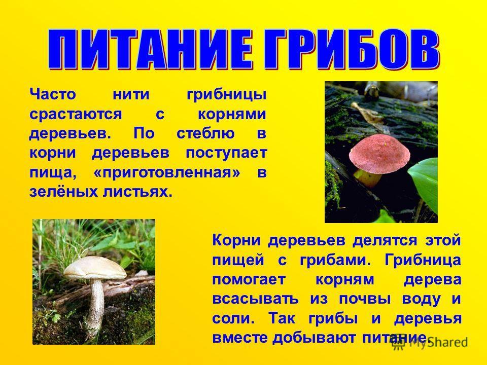 Часто нити грибницы срастаются с корнями деревьев. По стеблю в корни деревьев поступает пища, «приготовленная» в зелёных листьях. Корни деревьев делятся этой пищей с грибами. Грибница помогает корням дерева всасывать из почвы воду и соли. Так грибы и