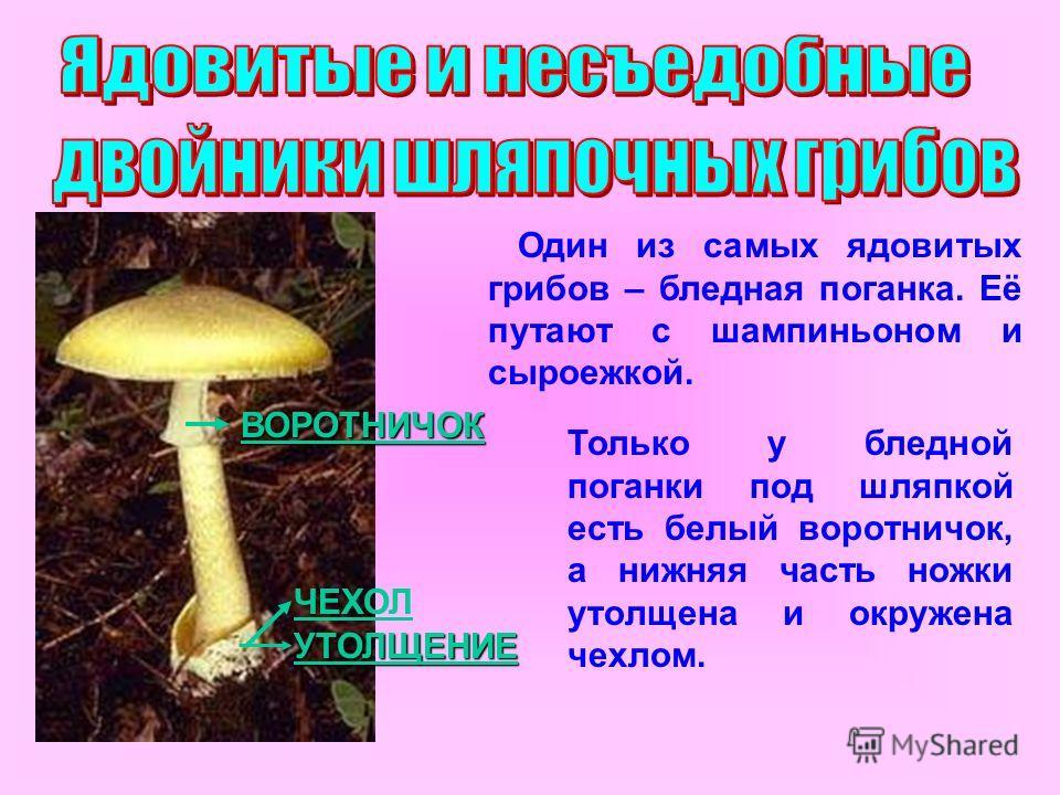 УТОЛЩЕНИЕ ВОРОТНИЧОК Один из самых ядовитых грибов – бледная поганка. Её путают с шампиньоном и сыроежкой. Только у бледной поганки под шляпкой есть белый воротничок, а нижняя часть ножки утолщена и окружена чехлом. ЧЕХОЛ