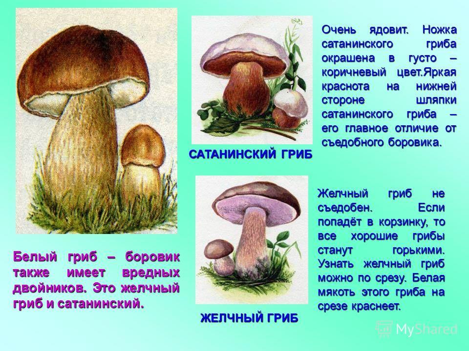 Белый гриб – боровик также имеет вредных двойников. Это желчный гриб и сатанинский. САТАНИНСКИЙ ГРИБ ЖЕЛЧНЫЙ ГРИБ Очень ядовит. Ножка сатанинского гриба окрашена в густо – коричневый цвет.Яркая краснота на нижней стороне шляпки сатанинского гриба – е