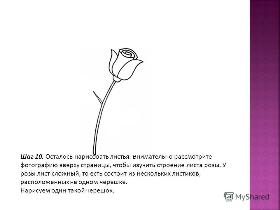 Шаг 10. Осталось нарисовать листья. Внимательно рассмотрите фотографию вверху страницы, чтобы изучить строение листа розы. У розы лист сложный, то есть состоит из нескольких листиков, расположенных на одном черешке. Нарисуем один такой черешок.