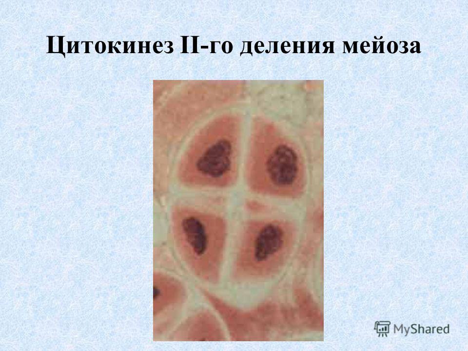 Цитокинез II-го деления мейоза
