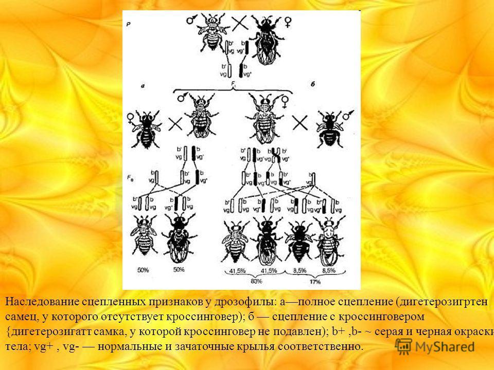 Наследование сцепленных признаков у дрозофилы: аполное сцепление (дигетерозигртен самец, у которого отсутствует кроссинговер); б сцепление с кроссинговером {дигетерозигатт самка, у которой кроссинговер не подавлен); b+,b- ~ серая и черная окраски тел