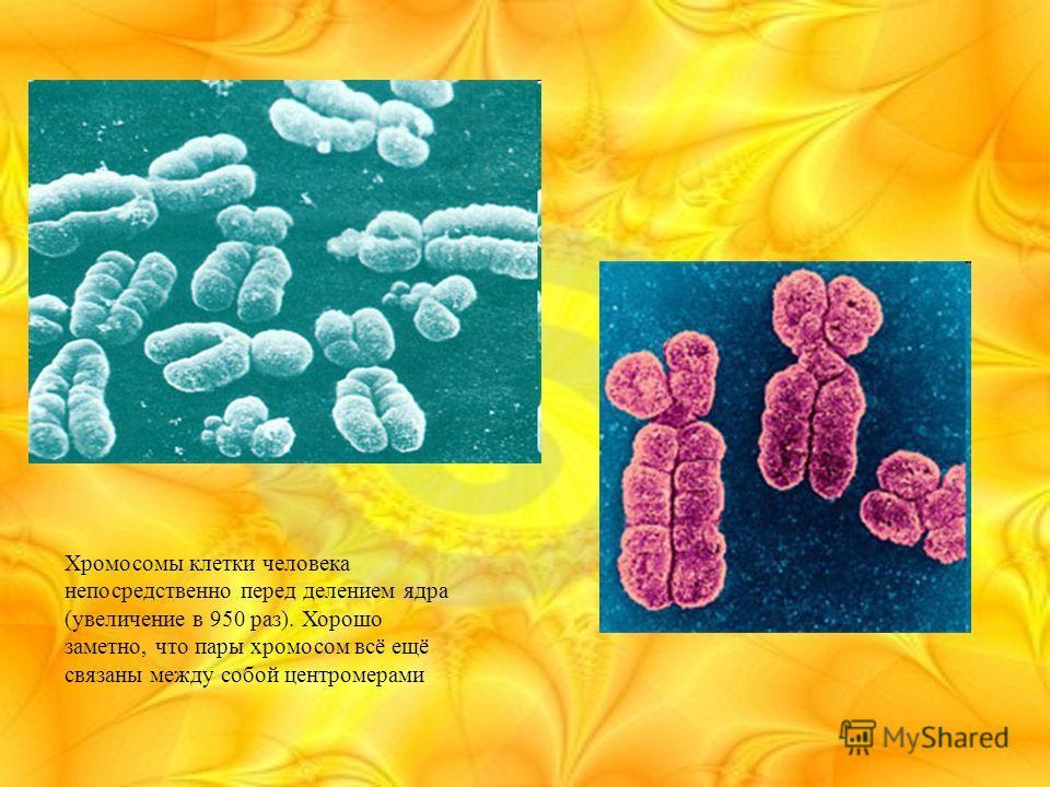 Хромосомы клетки человека непосредственно перед делением ядра (увеличение в 950 раз). Хорошо заметно, что пары хромосом всё ещё связаны между собой центромерами