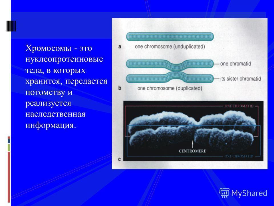 Хромосомы - это нуклеопротеиновые тела, в которых хранится, передается потомству и реализуется наследственная информация.