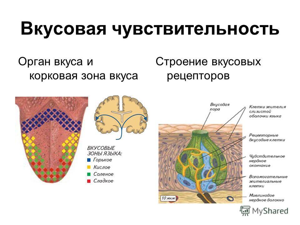 Вкусовая чувствительность Орган вкуса и корковая зона вкуса Строение вкусовых рецепторов